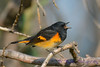 American Redstart male singing Sep 10 2017