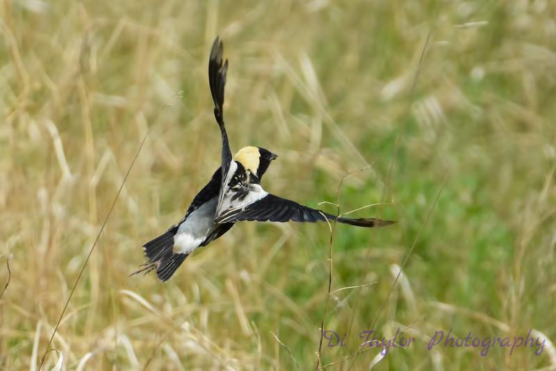 Bobolink male in flight