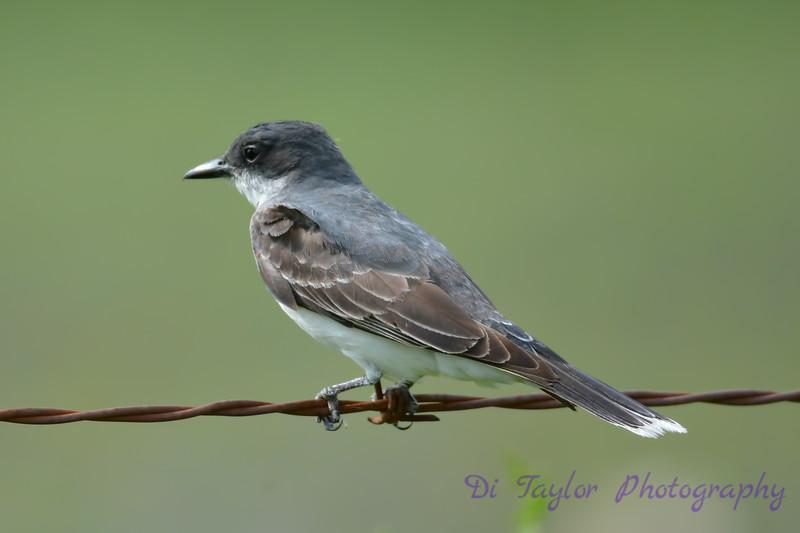 Eastern Kingbird juvenile 2  Aug 14 2017