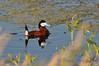 Ruddy Duck, Saskatchewan