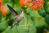 Female Ruby Throated Hummingbird with Honeysuckle Trumpet Flower 15