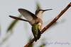 Female Ruby Throated Hummingbird on tree branch