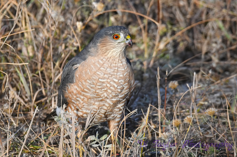 Coopers Hawk 4 Oct 7 2018