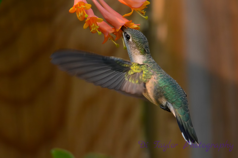 Female Ruby throated hummingbird 25