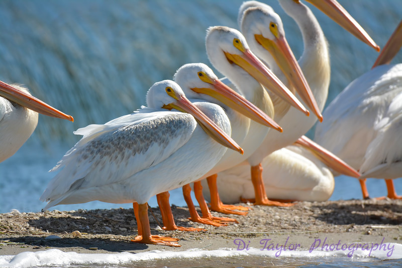 American White Pelicans  aranging themselves by size  Aug 26 2017