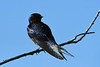 Barn Swallow 3  23 Jul 2019