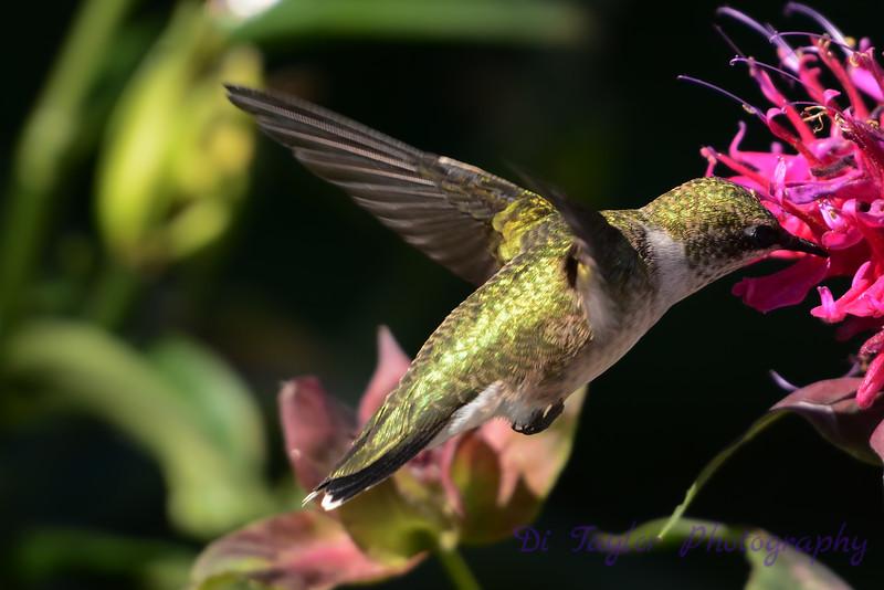 Ruby Throated Hummingbird in Beebalm 2