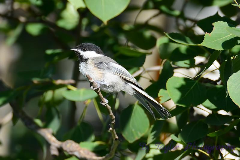Chickadee in tree 4