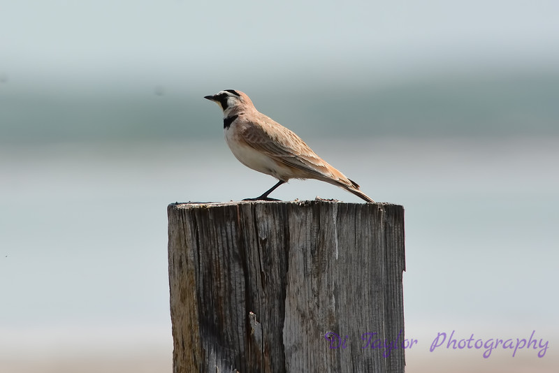 Horned Lark on fence post