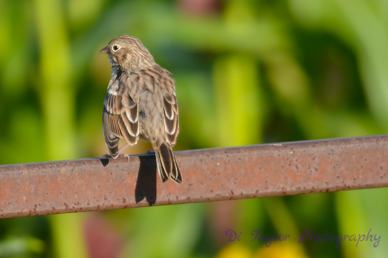 Vesper Sparrow  2  Aug 17 2017