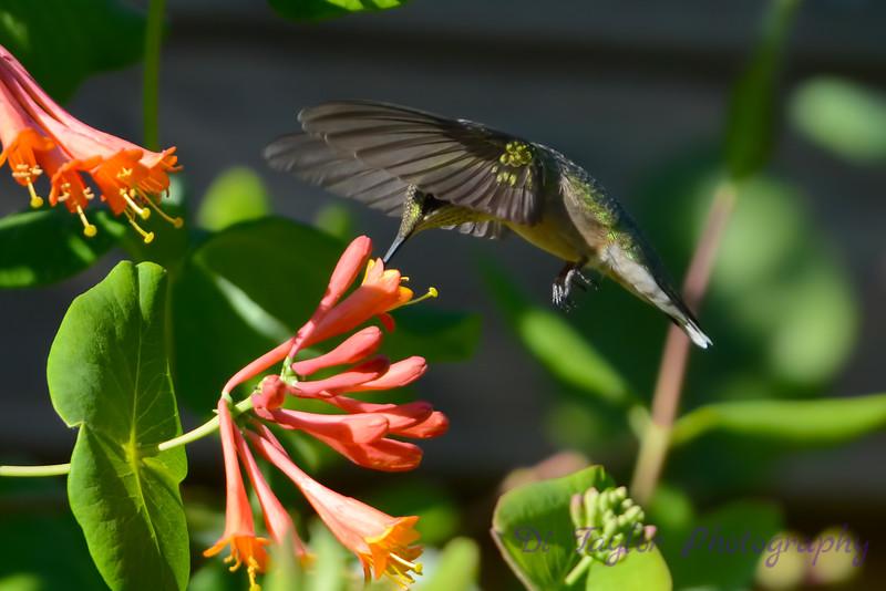 Female Ruby Throated Hummingbird 2015