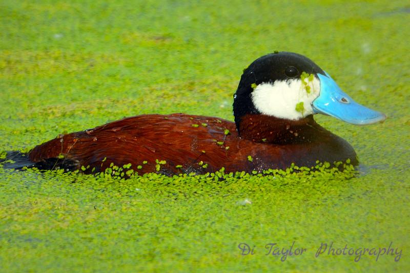 Ruddy Duck in Algae