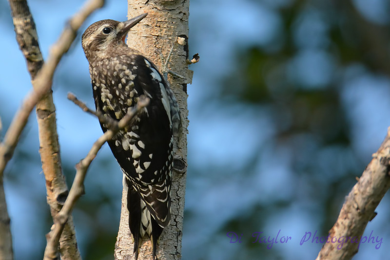 Yellow bellied sapsucker juvenile 3  Aug 18 2017
