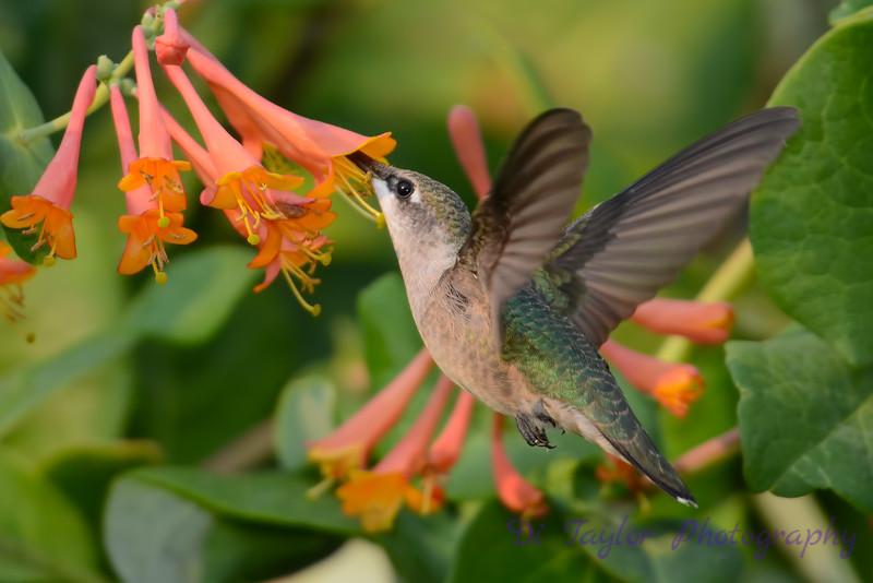 Female Ruby throated hummingbird 14