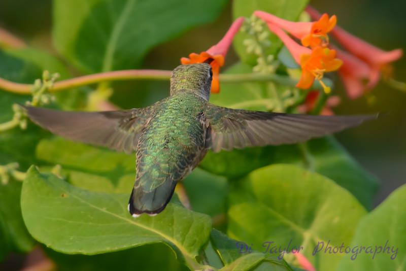 Female Ruby throated hummingbird 10
