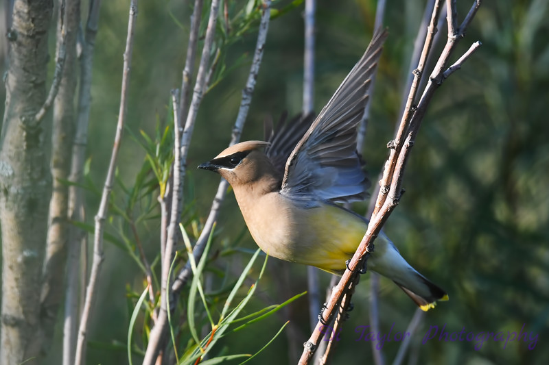 Cedar Waxwing taking flight Aug 19 2018