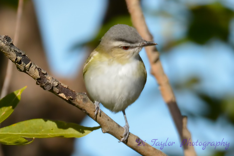 Red eyed Vireo 3  Aug 21 2017