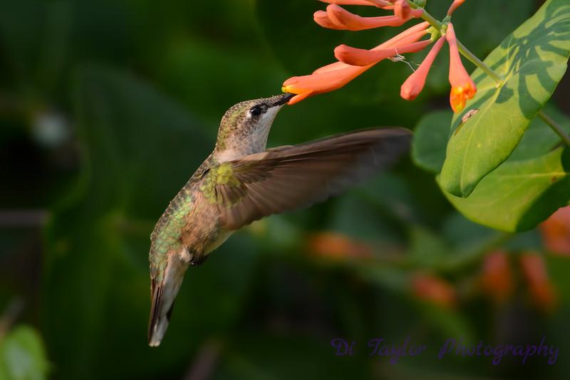 Female Ruby throated hummingbird 21
