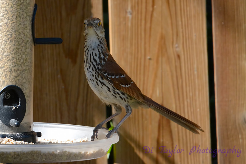 Brown Thrasher startled