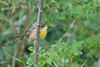 Common Yellow Throat perhaps a juvenile Aug 19 2018