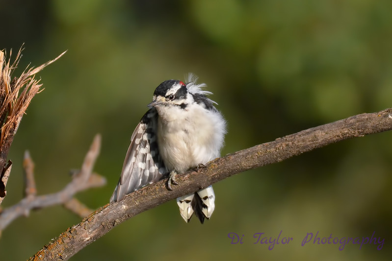 Downy Woodpecker grooming 24 Jul 2017