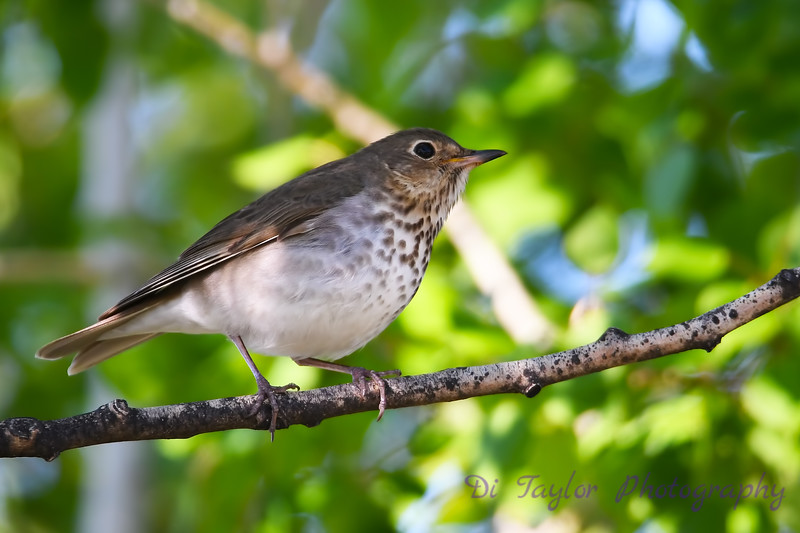 Hermit Thrush 19 May 2018
