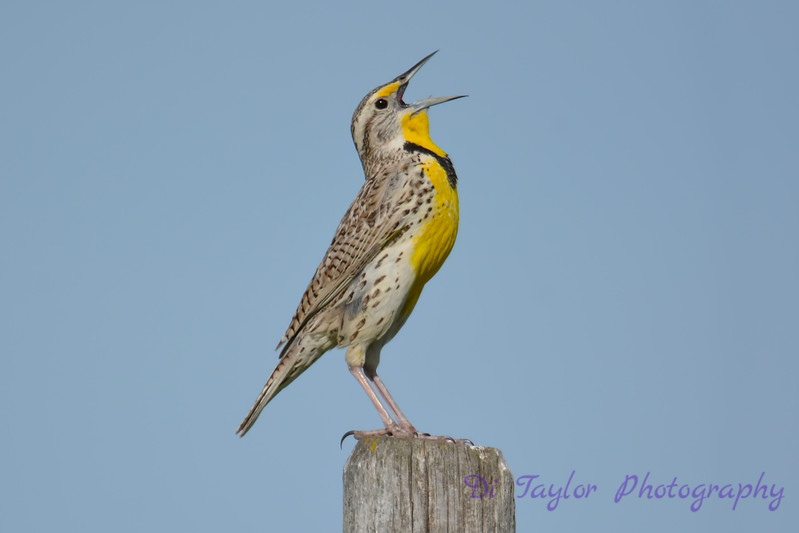 Western Meadowlark July 2 2017