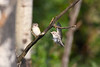 Warbling Vireo parent  and baby 21 Jul 2019