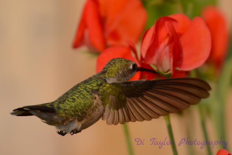 Female Ruby throated hummingbird 19