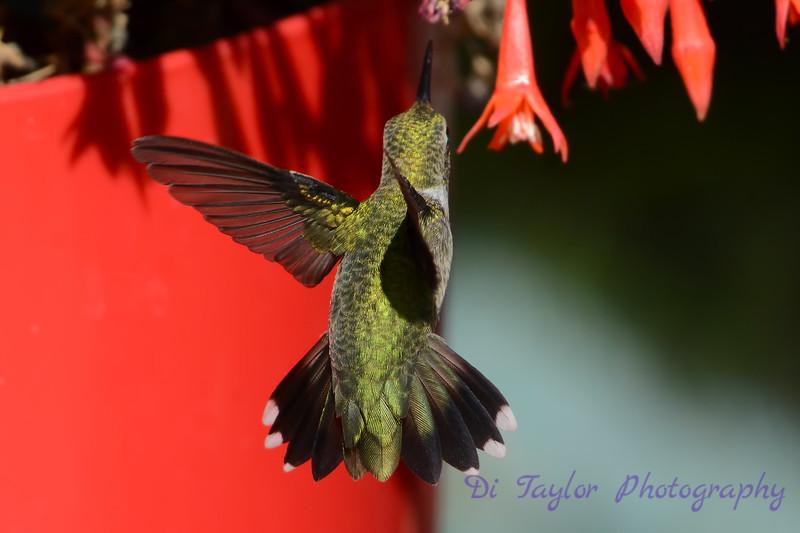 Ruby Throated Hummingbird in Fuschia 8