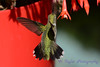 Ruby Throated Hummingbird in Fuschia 8