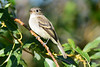 Least Flycatcher 4