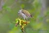 Tennessee Warbler 3  22 Jul 2017