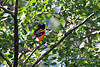 Baltimore Oriole male 7 Jul 2019