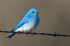 Mountain Bluebird male 2 May 3 2018