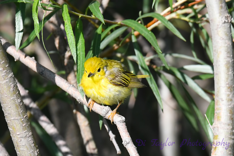 Yellow Warbler juvenile 1-Jul-19