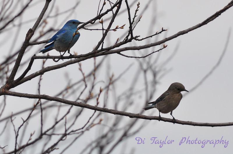 Mountain Bluebird pair