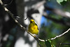 Yellow Warbler male 2 July 15 2018