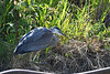 Great Blue Heron 13 Aug 2 2020