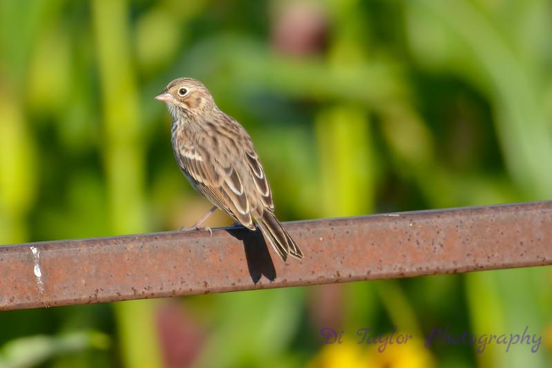 Vesper Sparrow Aug 17 2017