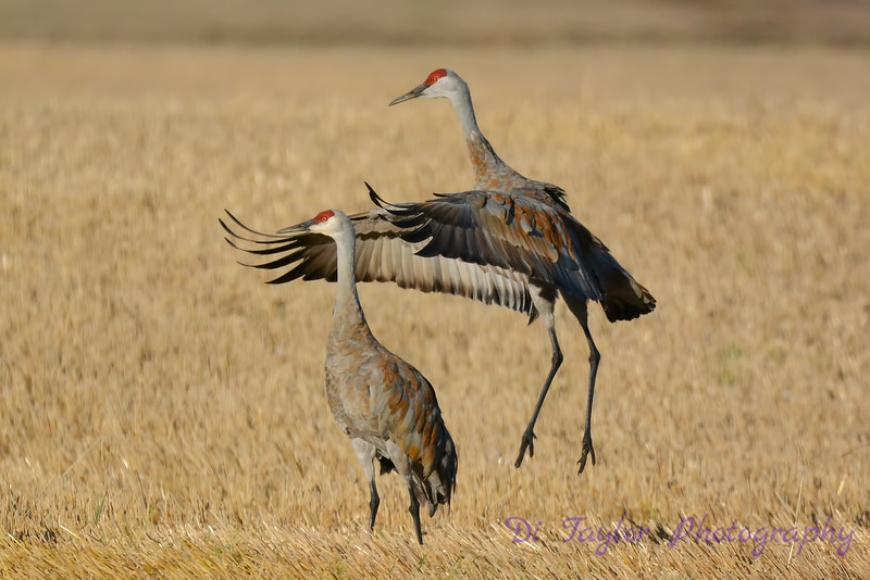 Sandhill Cranes posturing 3