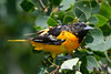 Baltimore Oriole Young Male