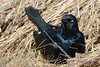 Rusty Blackbird nesting