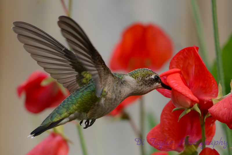 Female Ruby Throated Hummingbird in sweet peas 6