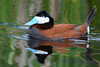 Ruddy Duck with reflection
