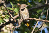 Northern Flicker 2 Aug 5 2020