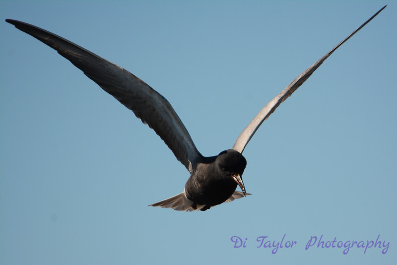 Black Tern hovering 2