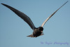 Black Tern hovering 2