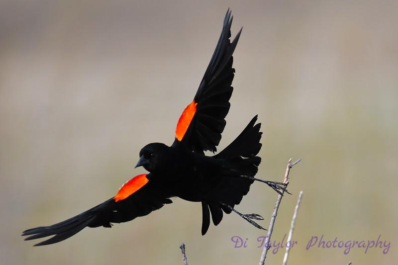 Red Winged Blackbird taking flight 18 May 2019