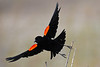 Red Winged Blackbird taking flight 18 May 2019